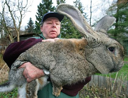 The giant rabbit